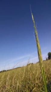 Wild Rice_Plant